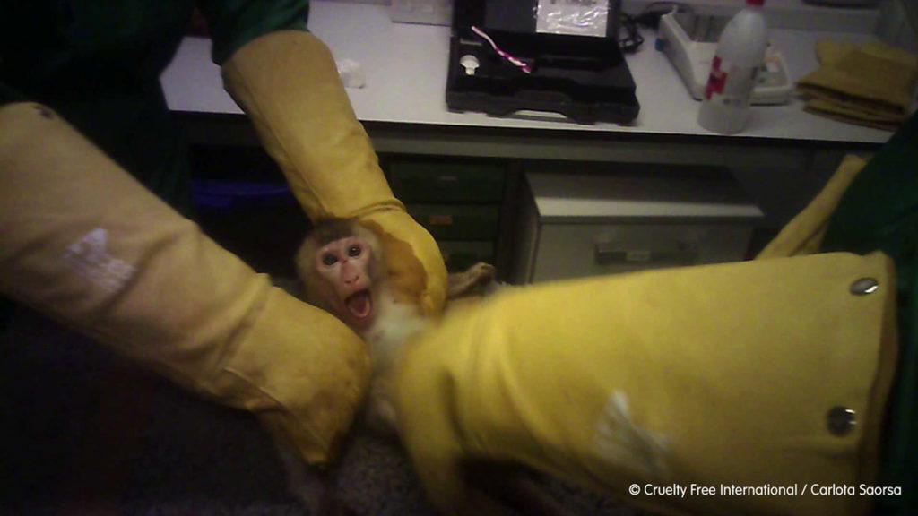 Mono torturado en un laboratorio